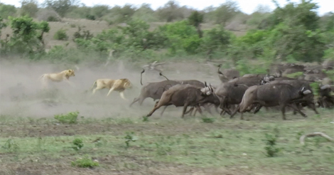 WATCH: SA's Kruger Buffalos Crushing Tourists Car